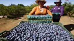 Chile se apresta para tener una muy buena temporada de arándanos 2020/2021