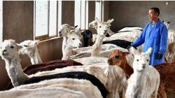 China empieza a exportar prendas de vestir de fibra de alpaca