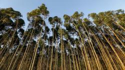Científicos del sector forestal piden eliminar prohibición de árboles genéticamente modificados