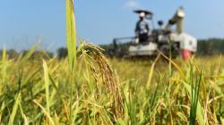 Científicos descubren un gen del arroz que se adapta a niveles bajos de nitrógeno en el suelo