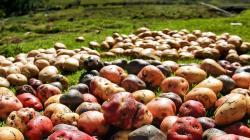 CIP planea lanzar dos variedades de papa biofortificada en Perú en 2021