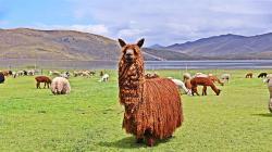 CIP Quimsachata es la mayor reserva genética de la alpaca de color del Perú y del mundo
