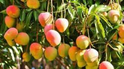 Clima favorecería cultivo de mango en el norte, pero afectaría al arroz