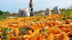 ComexPerú: Producción nacional de maíz amarillo solo cubre el 22.5% de la demanda nacional
