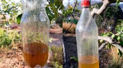 Cómo realizar trampas caseras para combatir la mosca de la fruta