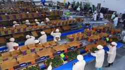 Complejo Agroindustrial Beta inauguró moderna planta empacadora de paltas en Olmos