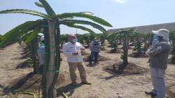 Conforman cooperativa agraria y exportadora de Pitahaya en Piura