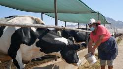 Congreso aprobó Ley de promoción de la cadena productiva ganadera lechera