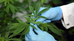 Congreso: presentan proyecto para facilitar acceso a cannabis medicinal