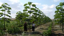 Conoce al Kiri, el árbol capaz de frenar el cambio climático