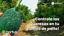 Controla las queresas en tu cultivo de palto