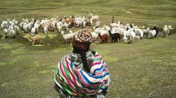 Conveagro solicita bono económico para criadores de camélidos sudamericanos