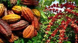 Convención Nacional del Café y Cacao abordará la nueva normalidad del café y cacao en el Perú, así como sus retos y oportunidades