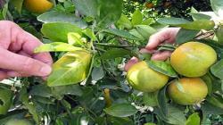 Costos del limón, mandarina y naranja se multiplicarían por enfermedad incurable