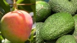 Crece demanda por frutas peruanas en Chile