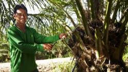 Cultivo de palma aceitera en Perú genera más 17.000 puestos de trabajo directos y 25.000 indirectos