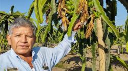 Cultivo de pitahaya debe ser considerado en programas de reconversión productiva