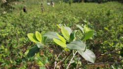 Cultivos de coca en Perú se expanden a 72.000 hectáreas según la Casa Blanca