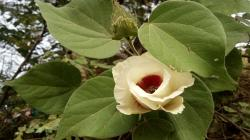 Descubren plantas de algodón de fibra verde endémica en Lambayeque