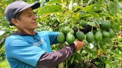 Devida invierte cerca de 800 mil soles para impulsar el cultivo de palta mejorada en el VRAEM