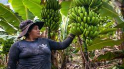 Devida potenciará cultivo de plátano en 172 hectáreas de Ayacucho