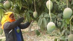 Dotación de agua pone en riesgo al mango de exportación