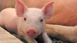 """EE.UU.: FDA declara a los cerdos genéticamente modificados como """"seguros para consumo humano"""""""