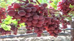 El notable auge de las uvas rojas sin semilla en el portafolio agroexportador peruano