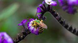 El servicio de polinización de abejas en el café