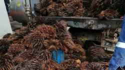 Elaboran envases biodegradables con residuos sólidos de la industria de palma aceitera