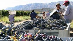 En 10% disminuye el número de trabajadores encargados de cosechar y procesar las frutas en Chile