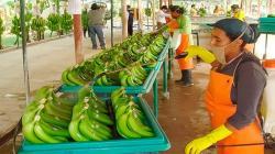 En riesgo 9.000 hectáreas de banano orgánico en Piura por Fusarium Raza 4 Tropical