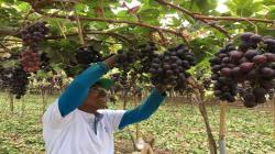 Ensayo en uva: nutrición balanceada para alcanzar productividad y calidad