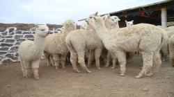 Entregan 140 cobertizos para reducir la tasa de mortandad de alpacas y ovinos en temporada de heladas
