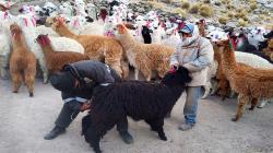 Entregan kits veterinarios para el cuidado de 1.800 alpacas ante bajas temperaturas