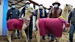 Entregarán 10 centros de producción de reproductores de alpaca en Puno