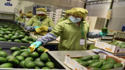 Envíos al exterior de paltas frescas representan el 20.8% del total de las agroexportaciones durante enero-agosto del 2021
