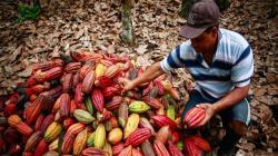 Esfuerzo público-privado por la cadena productiva del cacao
