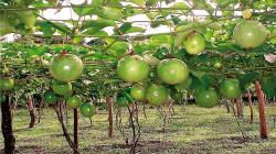 Establecen requisitos fitosanitarios para la importación de plantas de maracuyá de origen y procedencia Taiwán