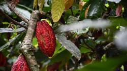 Estudio logra reducir nivel de cadmio en el cacao de San Martín