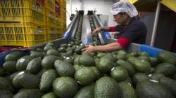 Exportación de aguacates mexicanos se quintuplicó desde el TLC con Estados Unidos