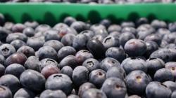 Exportación de arándanos creció 10% entre enero y septiembre de este año
