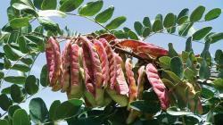 Exportación de tara en polvo cae notablemente entre enero y julio