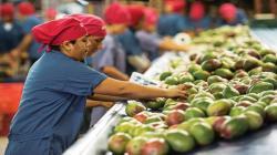 Exportación total de mango peruano crecería 30% si se envía a China