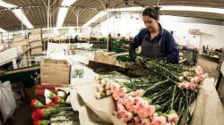 Exportaciones de flores frescas por parte de Perú crecieron en valor 11.2%