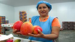 Exportaciones de mango de Casma ingresarán a mercado asiático y europeo
