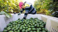 Exportaciones de palta por parte de Agrícola Cerro Prieto crecerán en volumen 9.4% este año