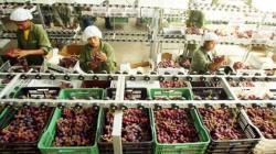 Exportaciones de uva de mesa de Piura crecieron 23.1% en la campaña 2020/2021
