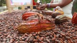 Exportaciones peruanas de cacao cayeron 8% en volumen y 3% en valor en el 2020
