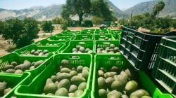 Exportaciones peruanas de palta rompen récord en la campaña 2020